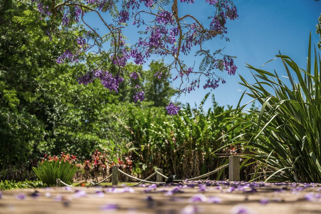 GARDEN Jacaranda_preview